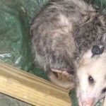 Opossum in the barn
